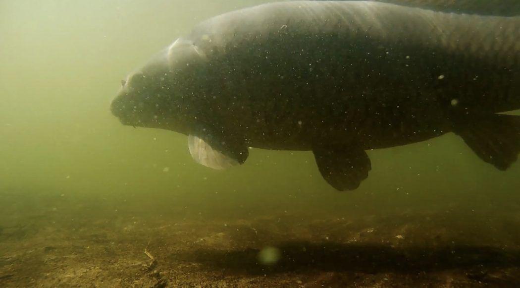 Onderwaterbeelden van karpers – Fish Cams