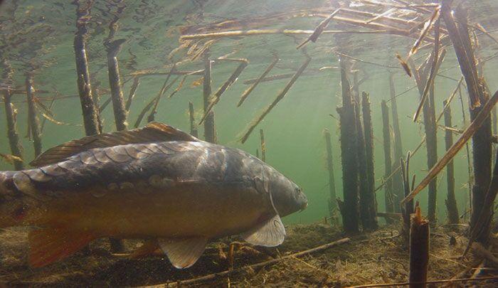 Onderwaterbeelden van karpers – Ben Scholten
